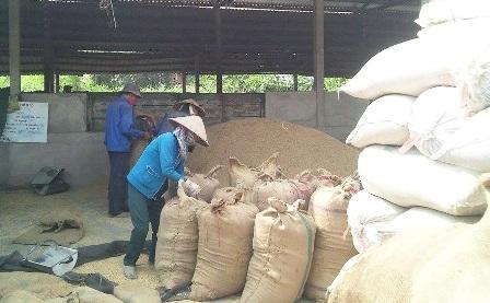 Các lò sấy lúa ở Cần Thơ đang quá tải (ảnh Hiền Thanh)