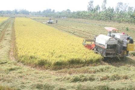 Giá lúa đang nhích lên sau khi T