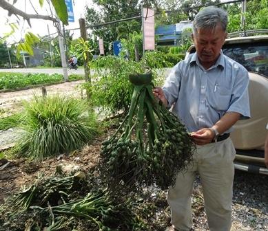 Ông Nguyễn Lạc - Phó chủ tịch Hội nông dân huyện Phong Điền bên những buồng cau non