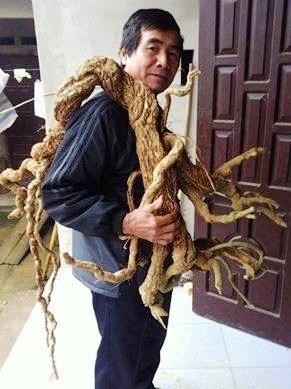 Ông Nguyễn Văn Phong bên rễ Ba Kích khổng lồ nặng 10kg do ông đào được trong rừng.