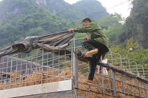 Bất chấp sự nguy hiểm, nhiều người vẫn trèo lên thùng xe tải đang chạy để mót dưa.