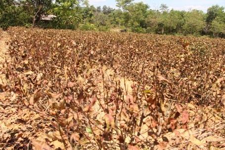 Nếu nắng nóng tiếp tục kéo dài nhiều hộ trồng chè có nguy cơ mất trắng