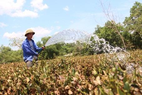 Những người trồng chè đang tích cực tưới tiêu cả ngày lẫn đêm để cứu lấy số diện tích chè còn lại