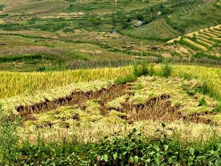 Lúa được cắt đều tăm tắp tạo nên một bức tranh thiên nhiên lạ mắt.