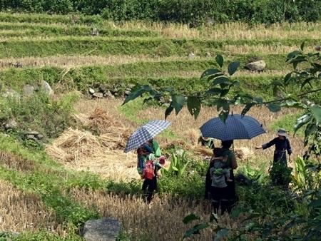 Mùa gặt trên khu ruộng bậc thang ở Bãi đá cổ Sa Pa