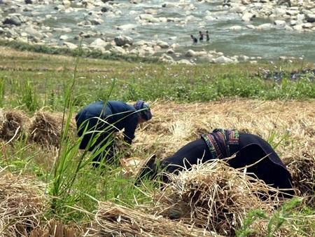 Người phụ nữ dân tộc Daolau giọt mồ hôi rơi.