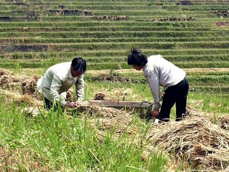 Người Tày ở Thung lũng Mường Hoa vẫn giữ nguyên tập quán đập lúa