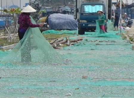 Thu hoạch cá cơm khô.