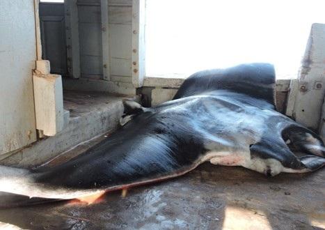 Cá đuối khủng nặng ước khoảng nửa tấn.