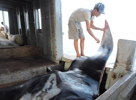 Phải mất hơn 2 giờ đồng hồ, 12 ngư dân mới đưa cá đuối khủng lên tàu cá.