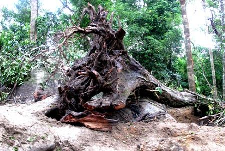 Nhiều gốc cây cổ thụ bị đào tróc gốc nằm ngổn ngang