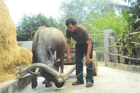 Chỉ cần 5 phút, anh Văn đã bắt những con trâu, bò hung dữ phải tuân lệnh của mình.