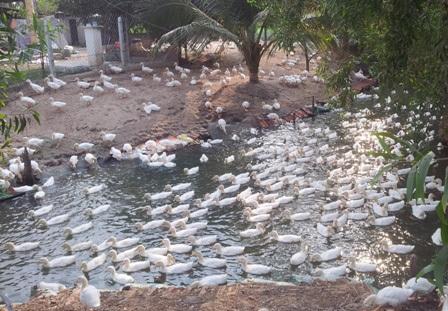 Những đàn vịt tại huyện Trảng Bàng, Tây Ninh tiềm ẩn nguy cơ gây dịch cho TPHCM