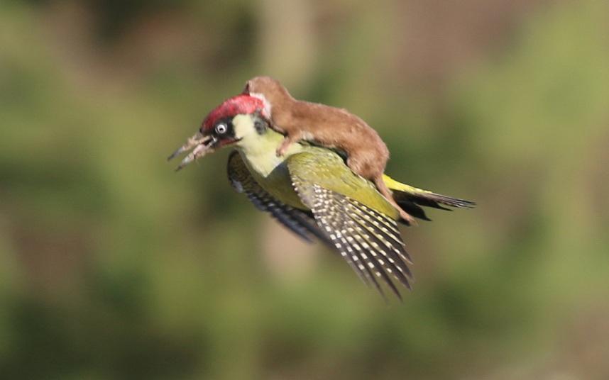 Nhiếp ảnh gia người Anh Martin Le-May ghi lại khoảng khắc hy hữu một con chồn cố bám trên lưng một con chim gõ kiến trong khi đang bay. (Ảnh: Telegraph)