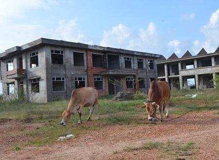 Sân trường là nơi lý tưởng cho bò rong chơi và gặm cỏ.