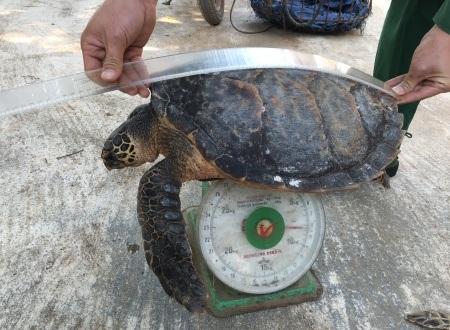 Cơ quan chức năng kiểm tra kích thước và cân nặng của cá thể rùa.
