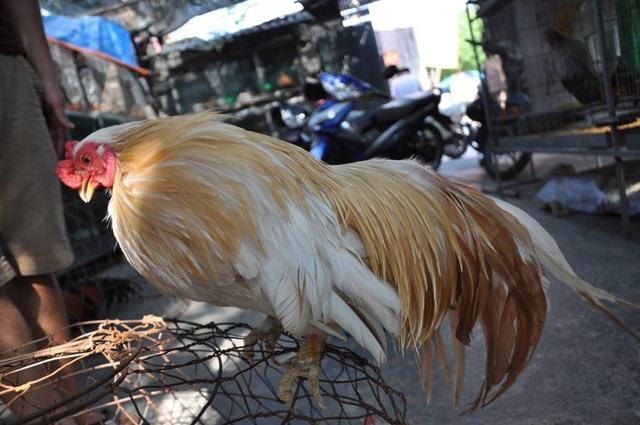 Cận cảnh chú gà Tân Châu độc có đuôi dài gần 1m tại trại gà của anh Nam.