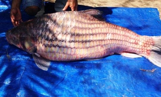 Cá trà sóc trọng lượng 60kg được thương lái bán tại TP HCM.
