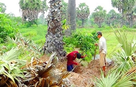 Đào cây thốt nốt để bán cho thương lái.