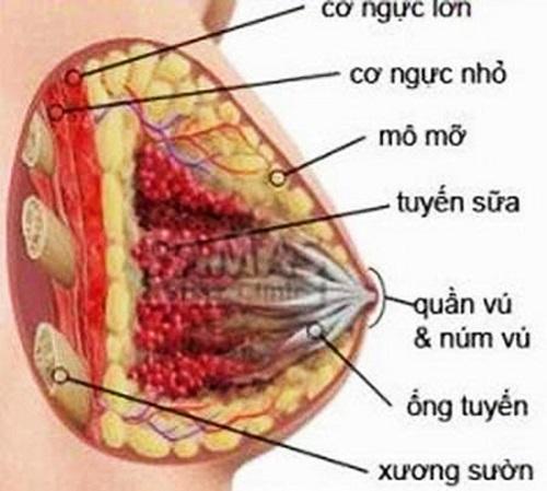 Hình ảnh giải phẫu vú.
