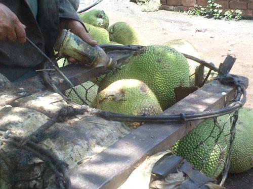 Một chủ vựa ở huyện Krông Pắk, tỉnh Đắk Lắk đang bơm hóa chất Trung Quốc vào trái mít Ảnh: Cao Nguyên