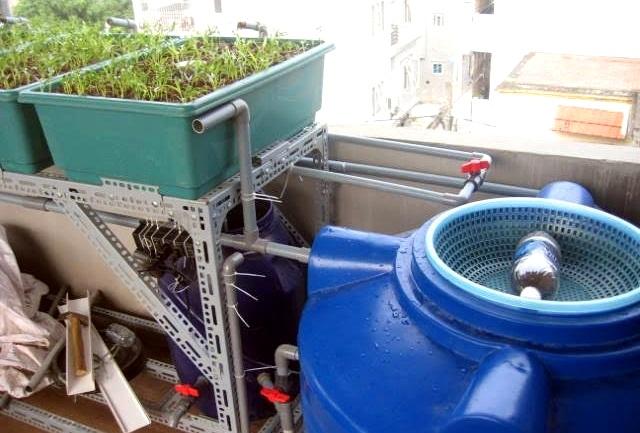 Hệ thống này chính là mô hình aquaponic -một dạng thủy canh kết hợp trồng rau và nuôi cá trên sân thượng