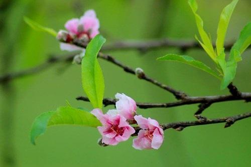 Ngỡ ngàng hoa đào trái vụ đẹp mê hồn ở Tây Bắc - 2