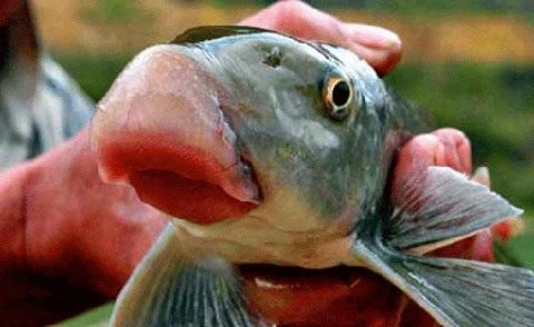 Cá anh vũ cũng nằm trong danh sách những loại cá đắt nhất Việt Nam
