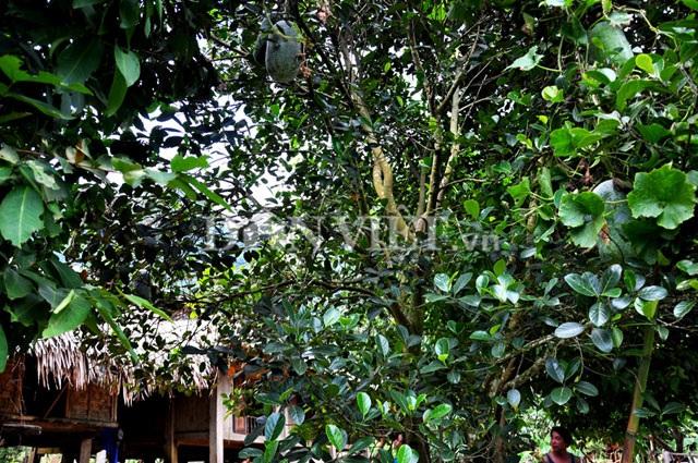 Giống bí lạ khổng lồnày được bà con đồng bào dân tộc Mường ở xã Xuân Sơn trồng bằng cáchcho leo các cây bóng mát.