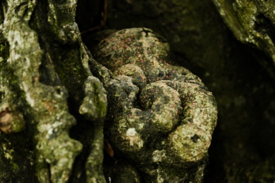 Vỏ cây sần sùi, bạc màu, một số chỗ rêu xanh, rêu đỏthể hiện sự già nua