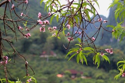 Ngỡ ngàng hoa đào trái vụ đẹp mê hồn ở Tây Bắc - 4
