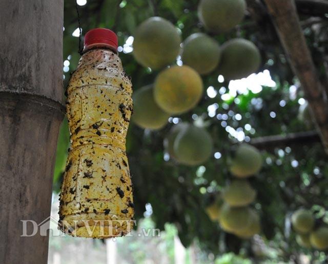 Chuyện lạ: Cây bưởi ra 800 quả ở Hòa Bình - 5