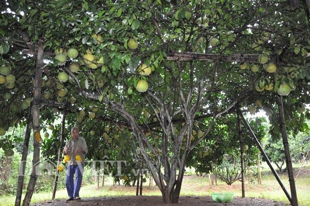 Chuyện lạ: Cây bưởi ra 800 quả ở Hòa Bình - 6
