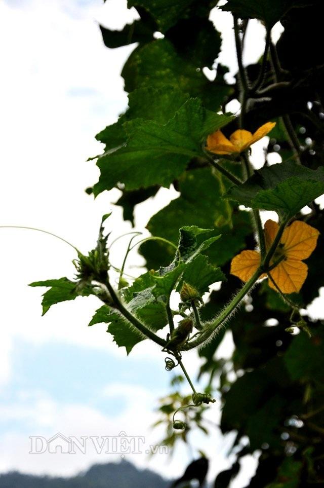 Các phần như dây, ngọn, hoa bí rất giống với giống bí thường.
