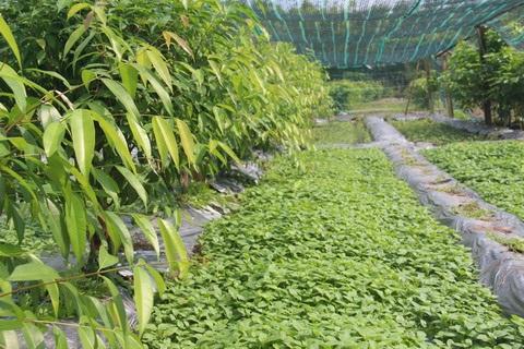 Xen giữa 2 hàng cây là lãnh rau quế vị ở vườn nhà ông Vỹ.