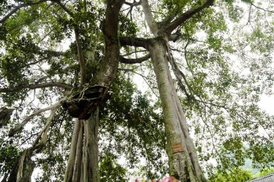 ....treo lơ lửng trên không vàđược cốđịnh bởi các tán, nhánh mọc ra xung quanh