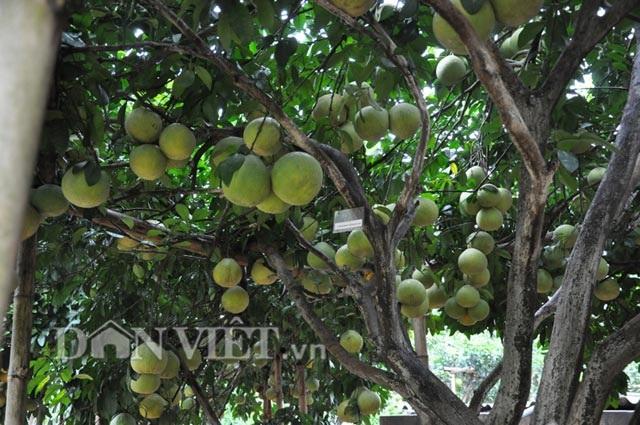 Chuyện lạ: Cây bưởi ra 800 quả ở Hòa Bình - 7