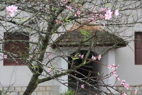 Ngỡ ngàng hoa đào trái vụ đẹp mê hồn ở Tây Bắc - 7