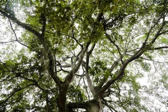 Theoông Dương Doãn Chu - một người sống lâu năm tại làng cho biết: Câyđa này là câyđược trồng trước sânđình làng Quỳnh Sơn. Trong các nghi lễ truyền thống của làng, kiệu của đình làng này phải được rước ra đầu tiên vànhững phu khiêngkiệu phải rước quanh khu vực câyđa