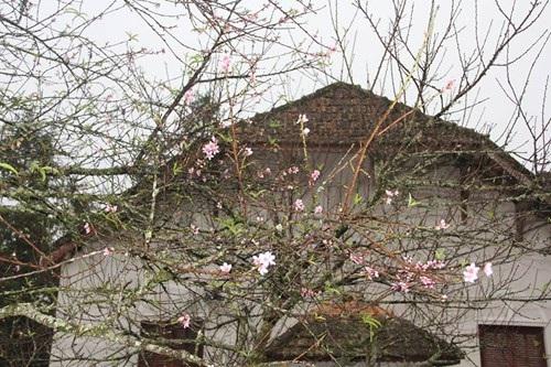 Ngỡ ngàng hoa đào trái vụ đẹp mê hồn ở Tây Bắc - 8