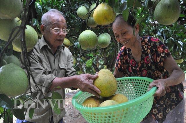 Chuyện lạ: Cây bưởi ra 800 quả ở Hòa Bình - 9