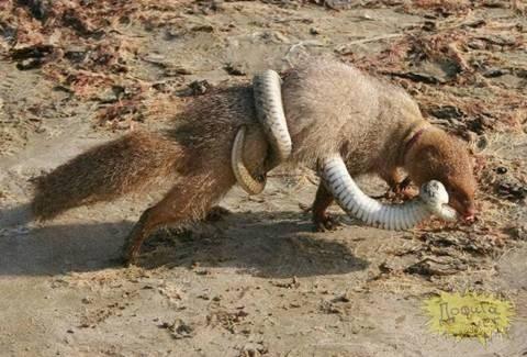 Trong cuộc chiến này thì bất phân thắng bại. Cầy cắn thẳng vào miệng rắn, còn con rắn cùng thân siết chặt con cầy.