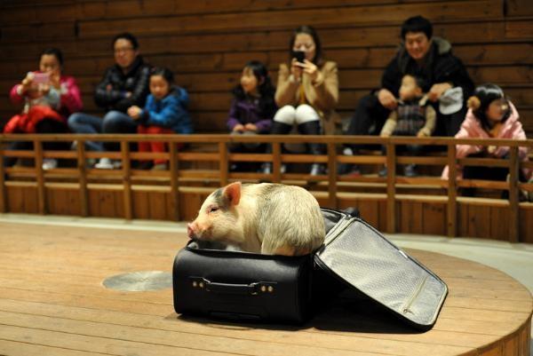 Nhiều chú lợn con rất dễ thương đang tham gia vào các trò chơi biểu diễn, vận động thu hút du khách.