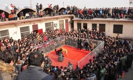 """Rợn người xem """"đấu trường cẩu"""" ở Trung Quốc - 1"""