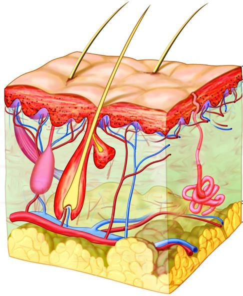 Đông y cho rằng, tóc là phần thừa của huyết và được huyết nuôi dưỡng