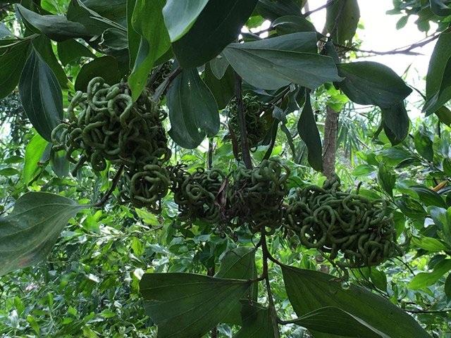 Giật mình gặp trái lạ như búi rắn lục ở rừng Quảng Ngãi - 5