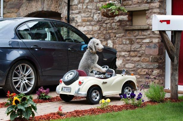 Chó lái xe ô tô điệu nghệ - 4