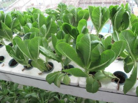 Trồng rau theo mô hình thủy canh vừa an toàn lại giúp cây phát triển nhanh chóng