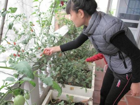 Chị Huyền đang hái những trái cà chua bi được trồng trong thùng xốp.