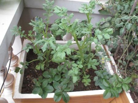 Những cây khoai tây được chị Huyền trồng đang trên đà phát triển rất tốt.